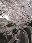 神田川の満開の桜の画像011