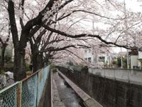 神田川の満開の桜の画像012