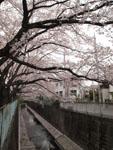 神田川の満開の桜の画像013