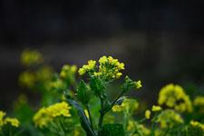 菜の花の花の画像023