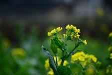 菜の花の花の画像024