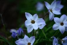 ハナニラの花の画像010