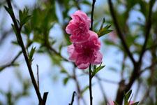 紅梅の花の画像027