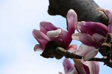 モクレンの花の画像011
