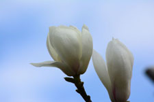 モクレンの花の画像012