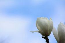 モクレンの花の画像013