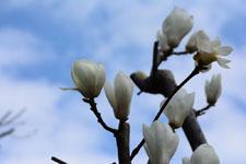 モクレンの花の画像014