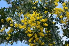 ミモザアカシアの花の画像013