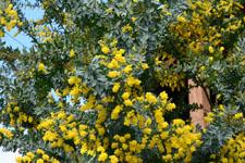 ミモザアカシアの花の画像014