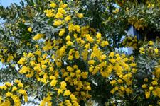 ミモザアカシアの花の画像015