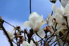 モクレンの花の画像015