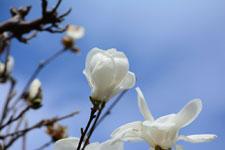 モクレンの花の画像016