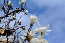 モクレンの花の画像017