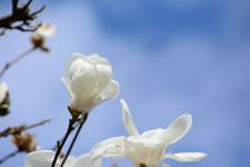 モクレンの花の画像018