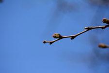 桜の蕾の画像005