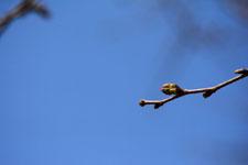 桜の蕾の画像006