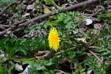 タンポポの花の画像001