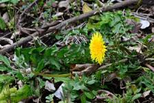 タンポポの花の画像002