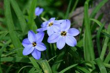 ハナニラの花の画像009
