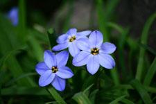 ハナニラの花の画像011