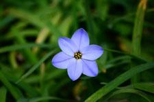 ハナニラの花の画像012