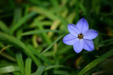 ハナニラの花の画像013