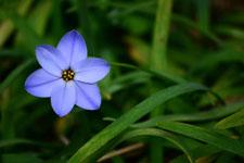 ハナニラの花の画像014
