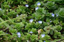 イヌノフグリの花の画像003
