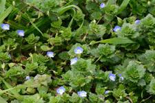 イヌノフグリの花の画像004