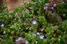 イヌノフグリの花の画像005