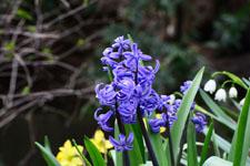 ヒヤシンスの花の画像001