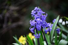 ヒヤシンスの花の画像002