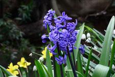 ヒヤシンスの花の画像003