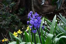 ヒヤシンスの花の画像004