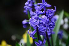ヒヤシンスの花の画像005