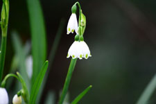 スノーフレークの花の画像001