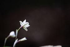 ハナニラの花の画像015