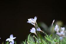 ハナニラの花の画像017