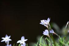 ハナニラの花の画像018