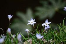 ハナニラの花の画像019