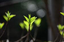 木の新芽の画像001