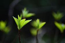 木の新芽の画像005