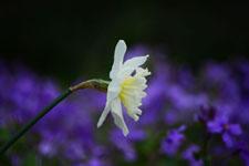 白い水仙の花の画像005
