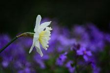 白い水仙の花の画像006