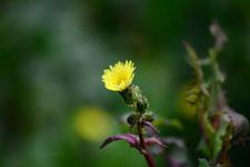 ボロギクの花の画像001