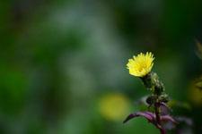 ボロギクの花の画像003