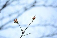 木の新芽の画像009