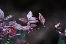 ナンテンの葉の画像001