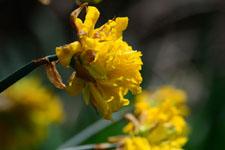 黄色い水仙の花の画像001