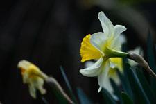 白い水仙の花の画像007
